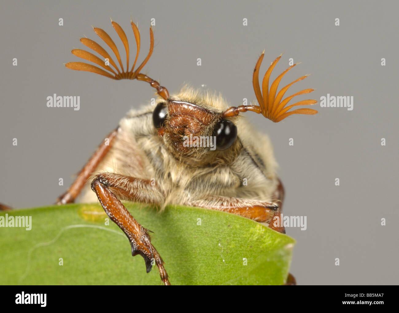 La testa e le antenne di un adulto cockchafer Melolontha melolontha o bug su una foglia Foto Stock