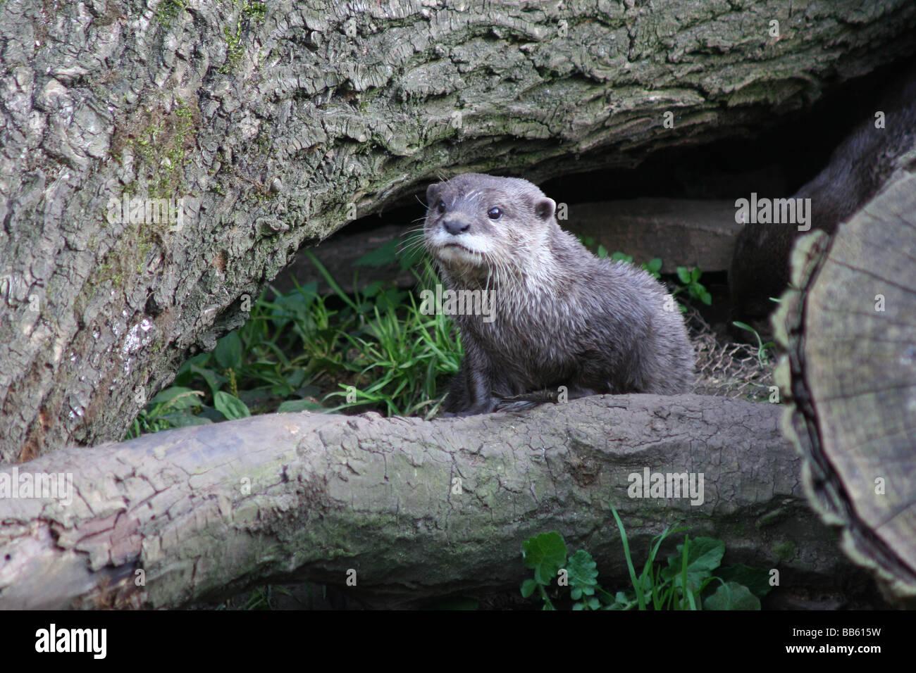Una lontra sulla terra asciutta. Foto Stock