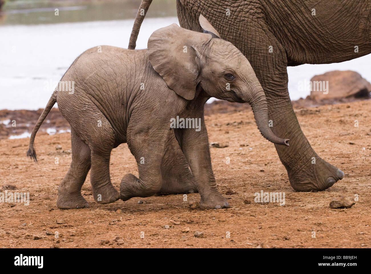 I giovani dell' elefante africano baby Loxodonta africana l'ARCA PARCO NAZIONALE DI ABERDARE KENYA Africa Immagini Stock