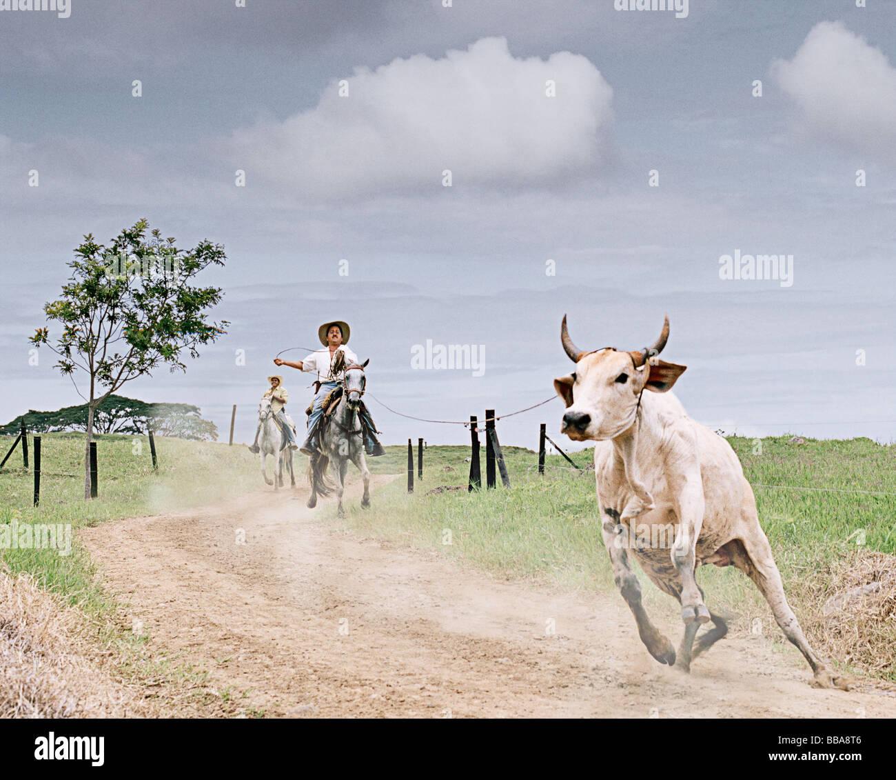 Scampato bull essendo lassoed in Colombia, Sud America Immagini Stock