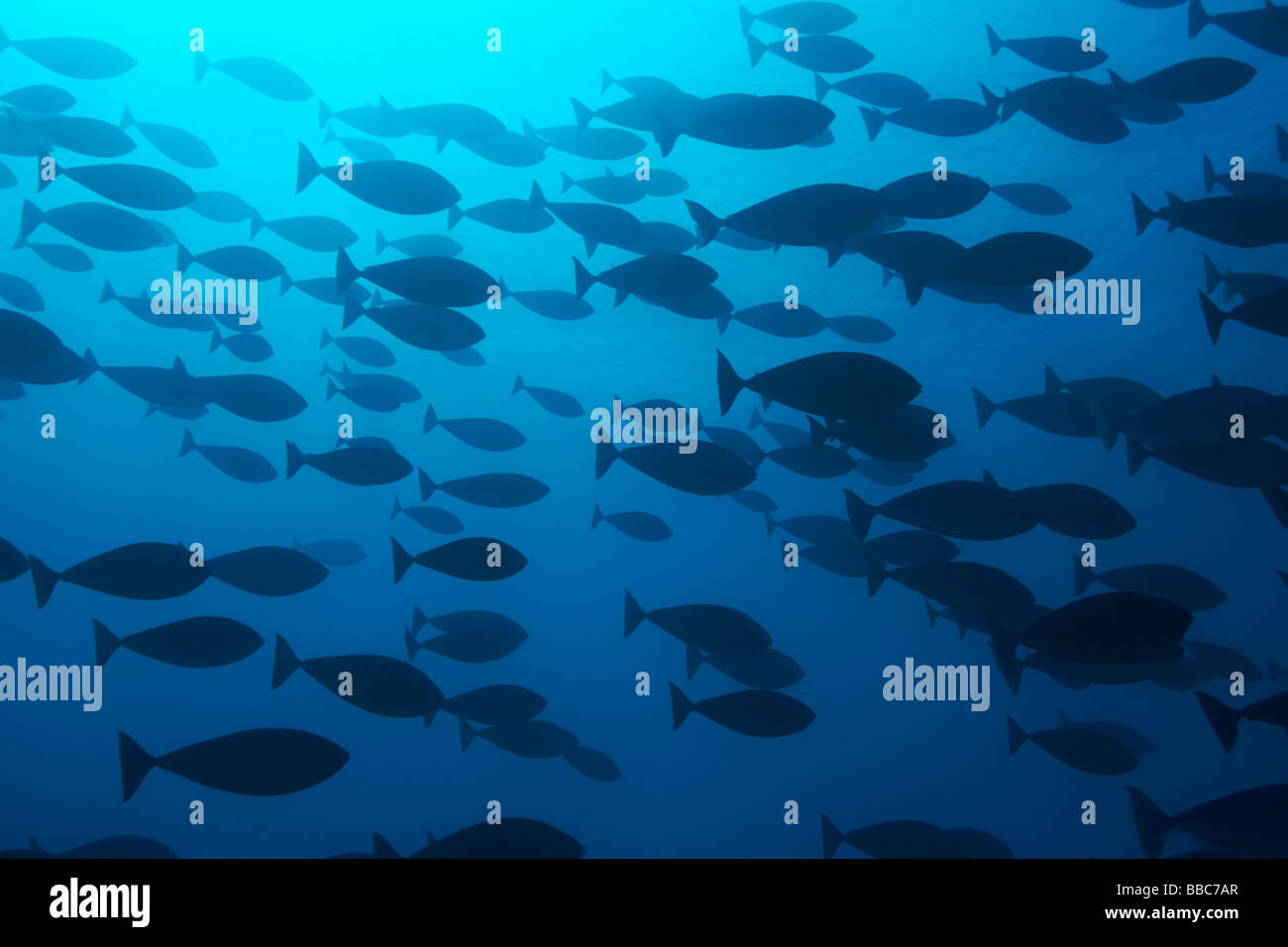 Pesce su Ciupus giardino, Zanzibar Immagini Stock