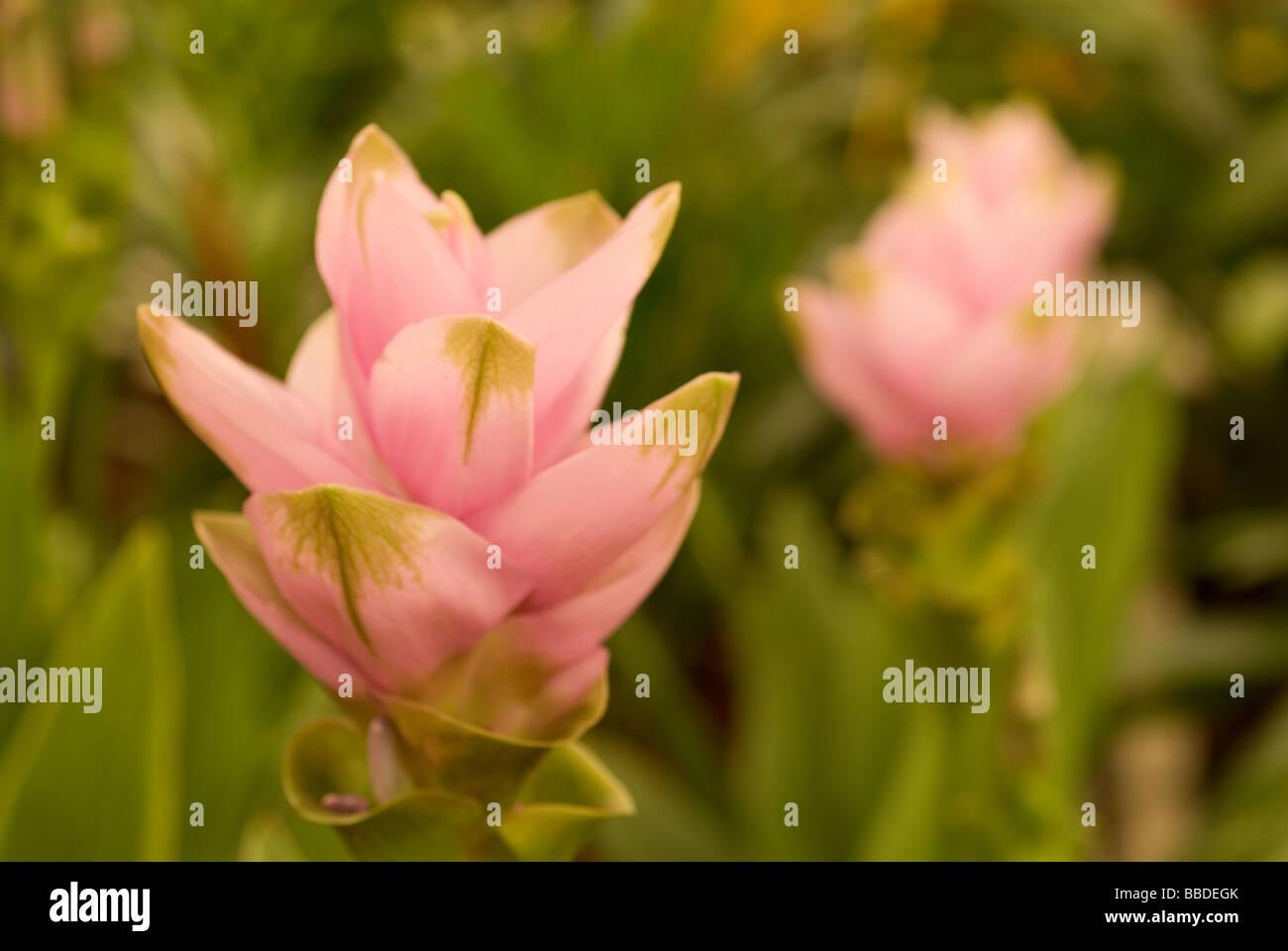 Tulipani Siam Curcuma alismatifolia, Zingiberaceae Immagini Stock