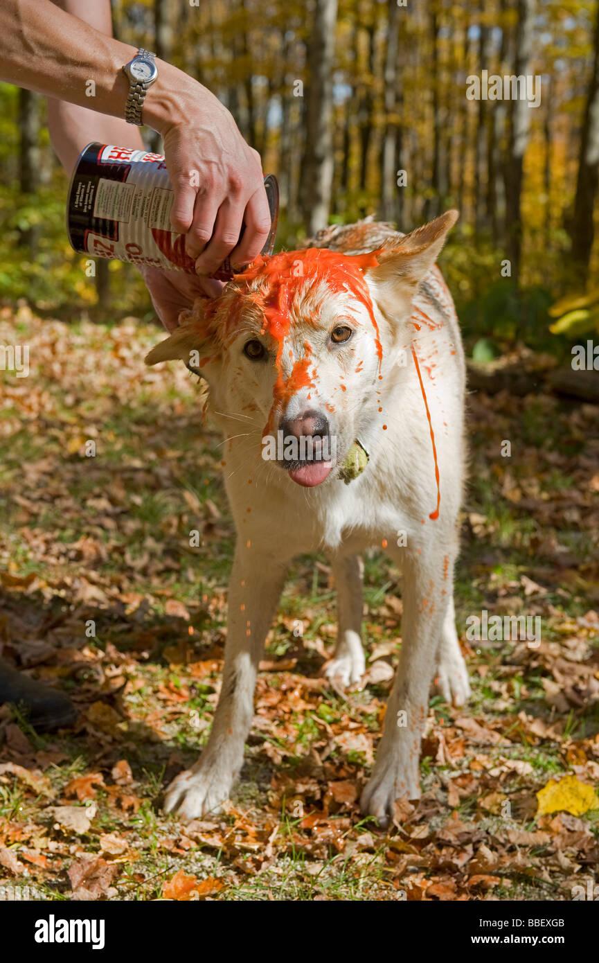 Essere Cane risciacquati con succo di pomodoro dopo che viene spruzzata da una skunk Immagini Stock
