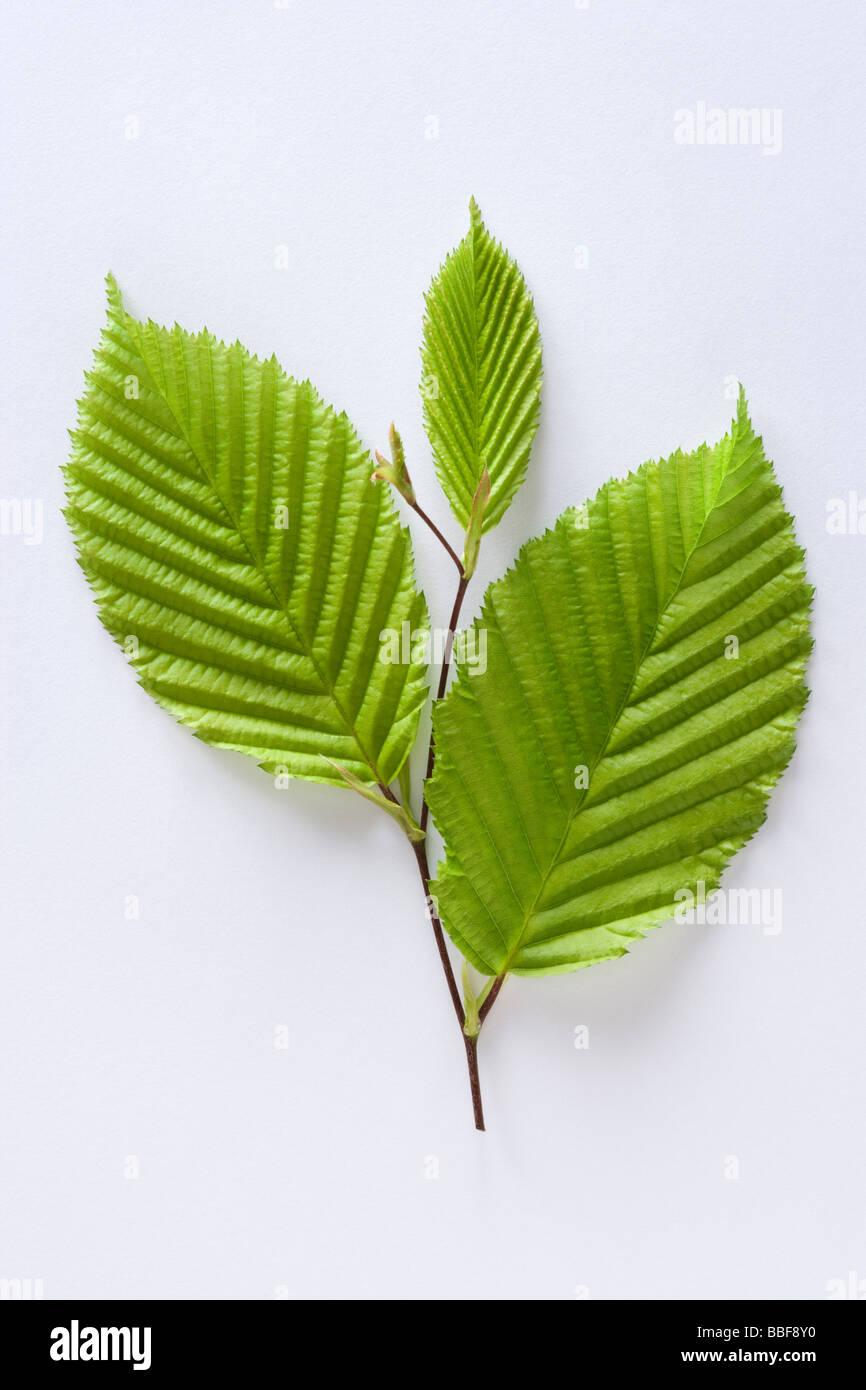 Foglie di albero di carpino, Carpinus betulus. Immagini Stock