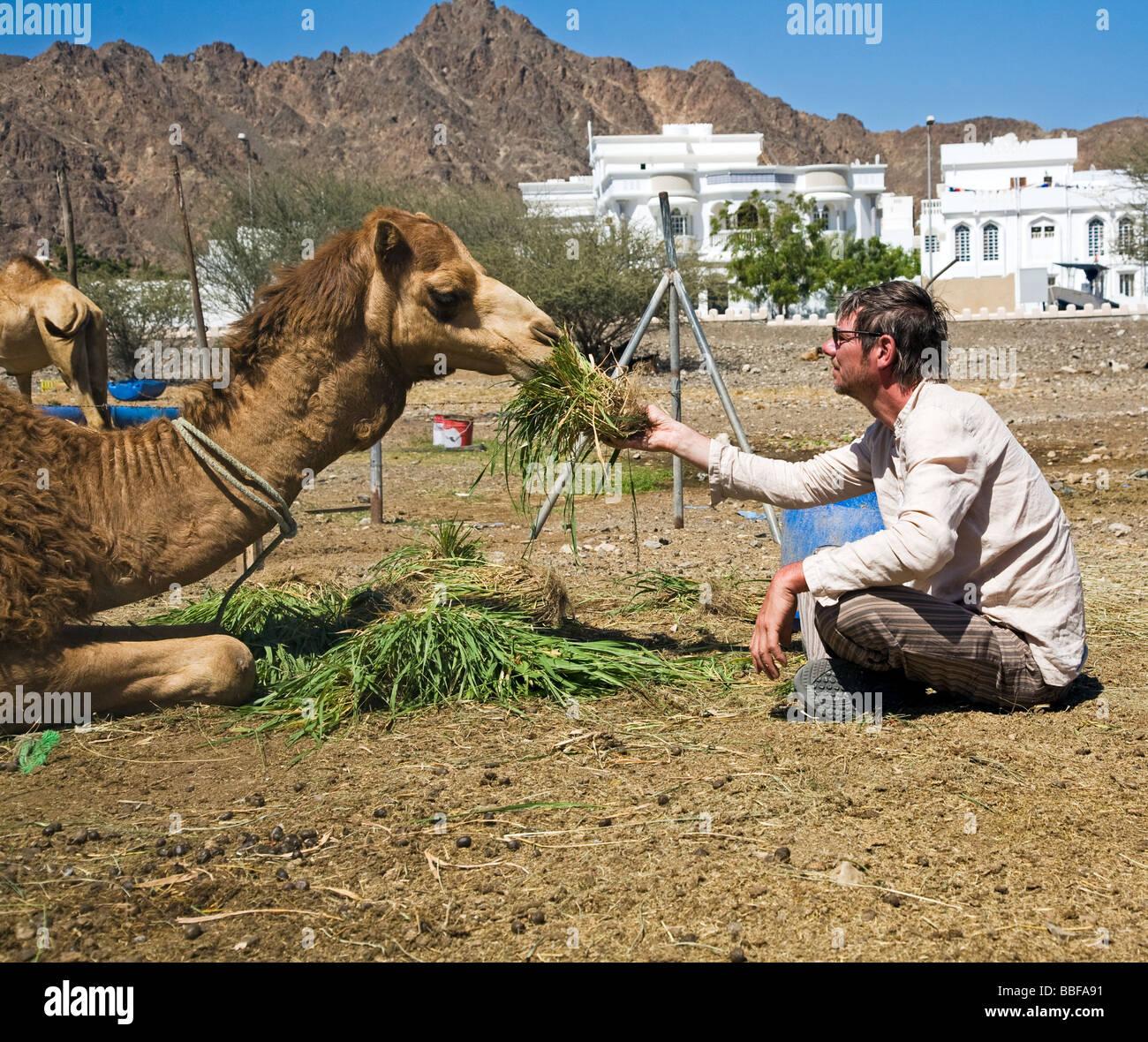 Alimentazione turistico camel nella capitale del sultanato di Oman, Muscat Maskat füttert turistica Kamele Immagini Stock