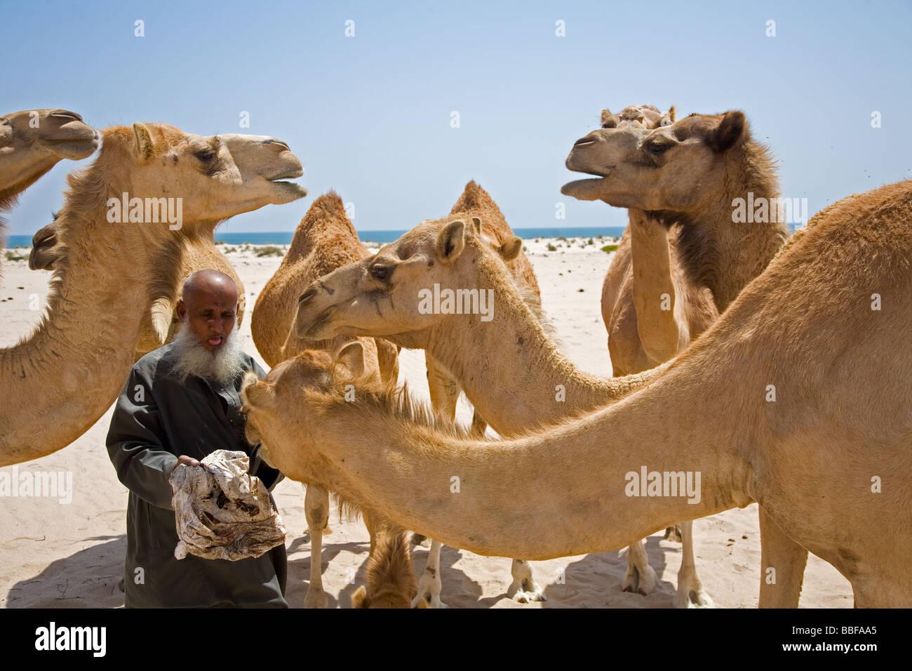Il vecchio uomo Omani alimenta i suoi cammelli con date Alter Omani füttert seine Kamele mit Datteln Immagini Stock