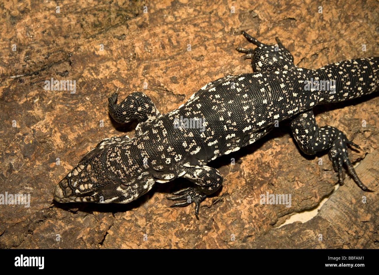 Colombiano in bianco e nero o tegu tegu comune, carnivori lucertola dal Sud America Immagini Stock
