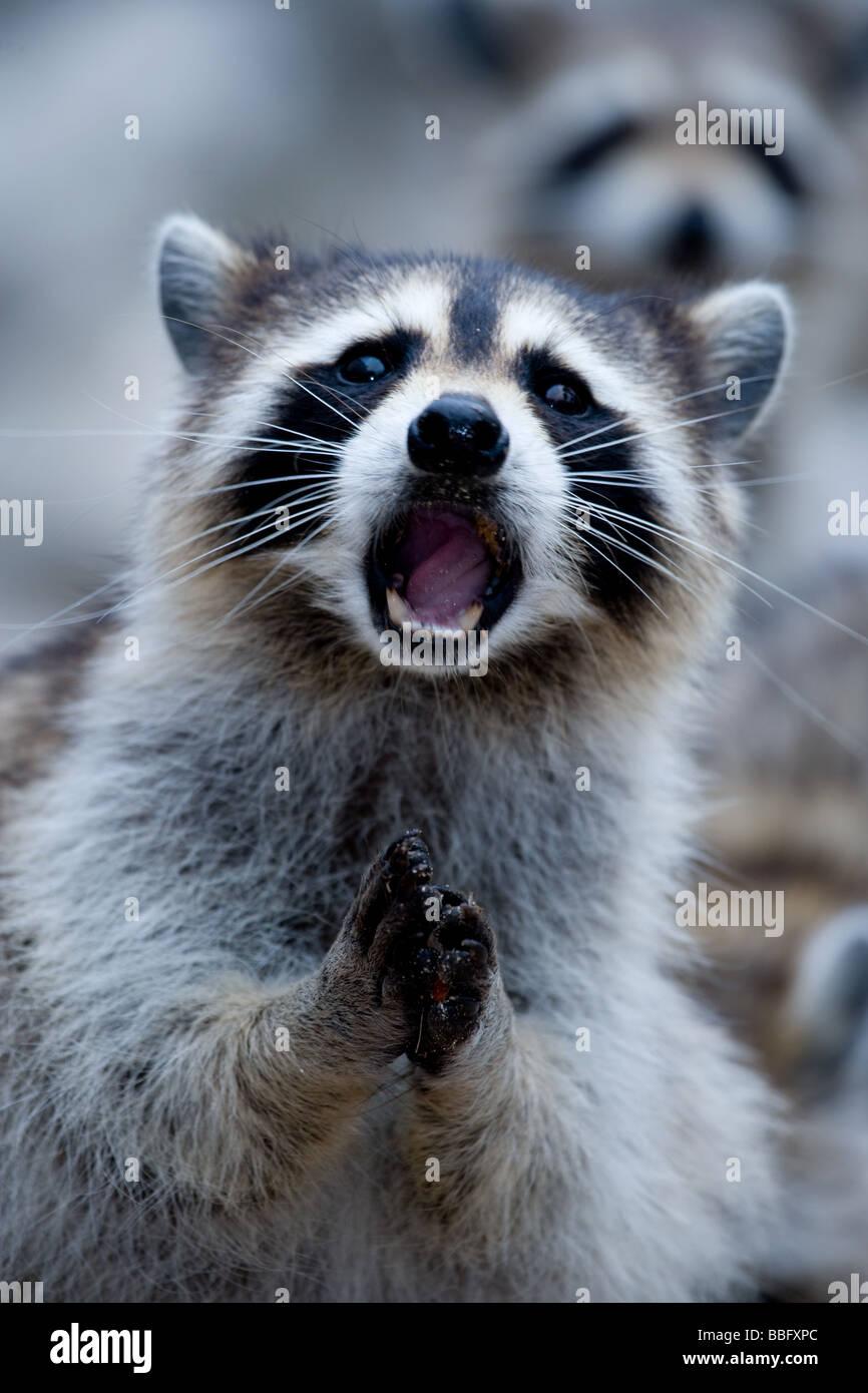 Close-up di Raccoon. Immagini Stock