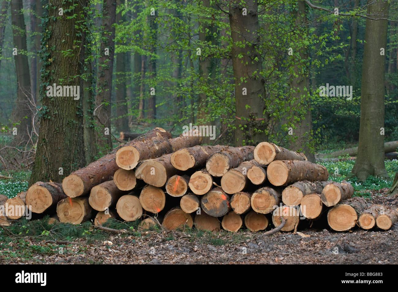 Appena tagliato il legno di pino rosso-contrassegnato tronchi nella foresta sono disponibili per il ritiro Foto Stock