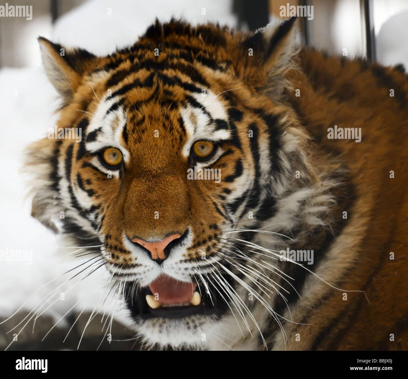 Yiung ritratto tiger zoo di Novosibirsk Immagini Stock