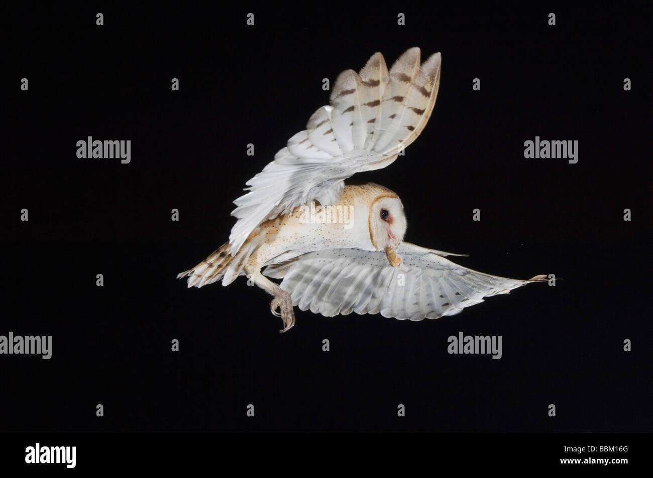 Barbagianni Tyto alba adulto La Contea di Willacy Rio Grande Valley Texas USA Maggio 2007 Immagini Stock