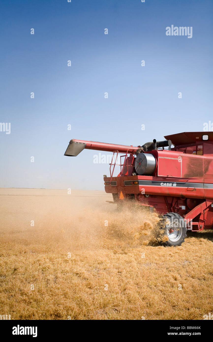 Lato posteriore della mietitrebbia nel campo di lenticchie, Saskatchewan Immagini Stock
