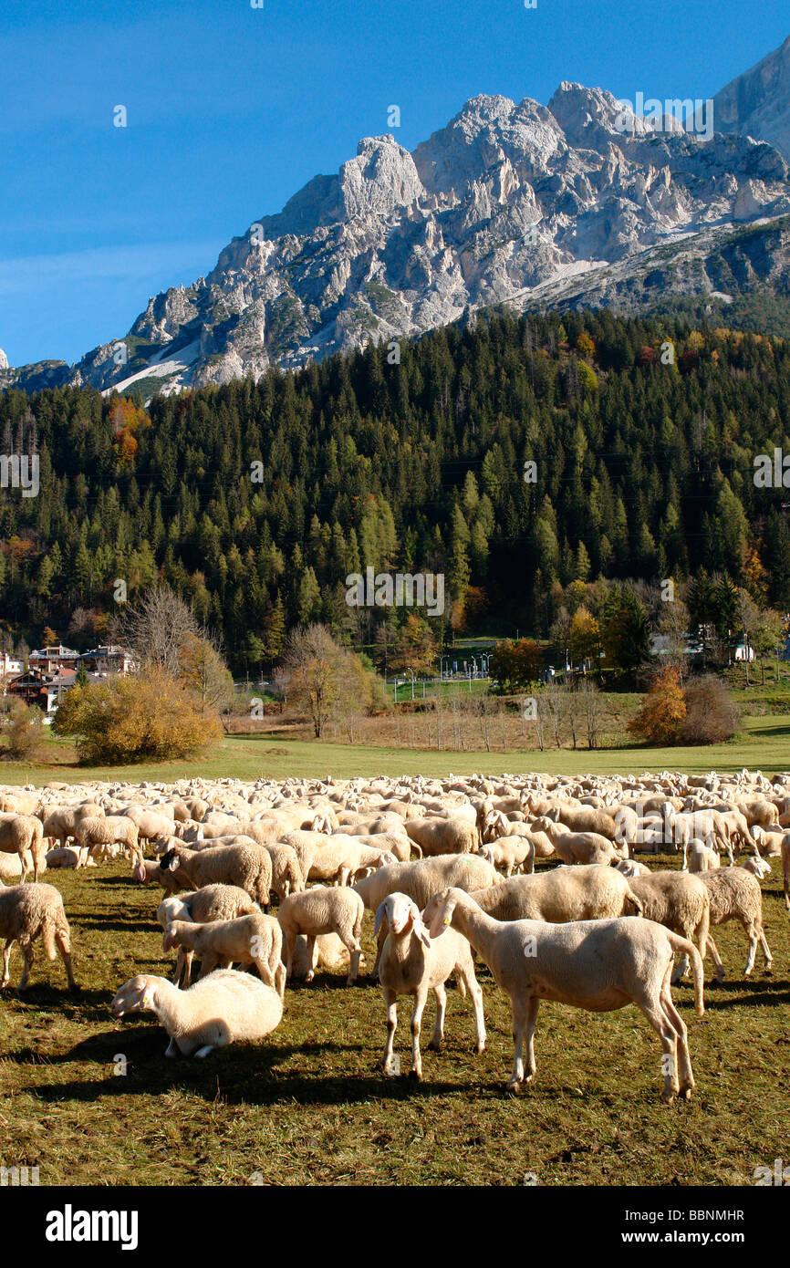 Geografia / viaggi, Italia, Trentino, Borca di Cadore: un gregge di pecore, Additional-Rights-Clearance-Info-Not Immagini Stock