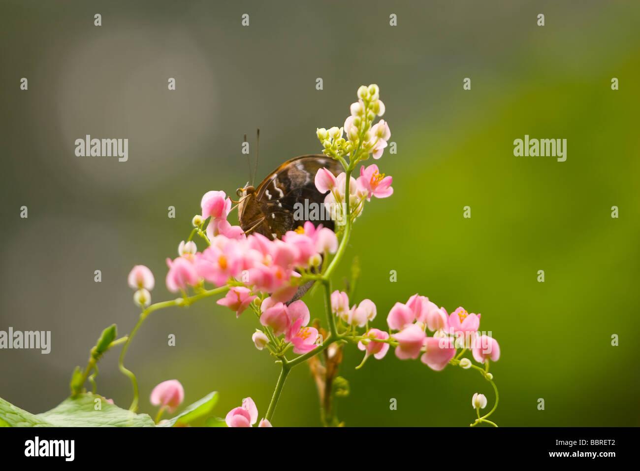 Un tropicale butterly sui fiori questa farfalla può essere visto ovunque in Malese foresta pluviale s Immagini Stock
