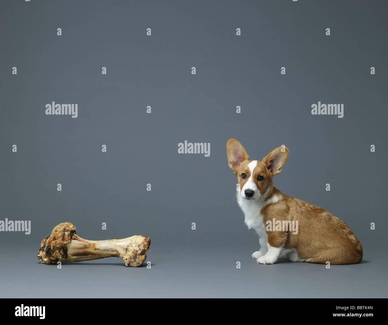 Cane seduto accanto a un enorme osso Immagini Stock