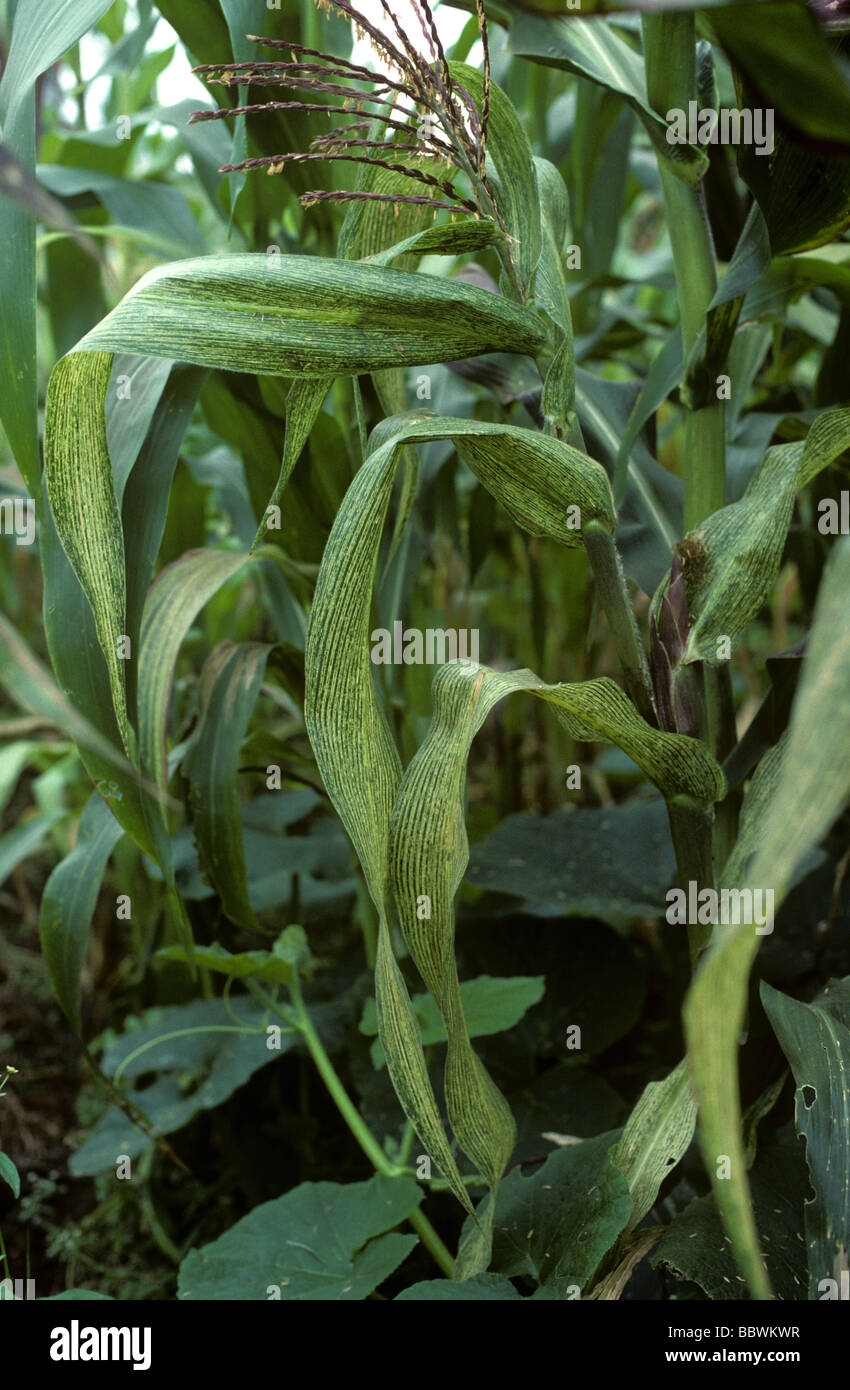 Granturco streak virus MSV sulla pianta di mais o granoturco in Kenya Immagini Stock
