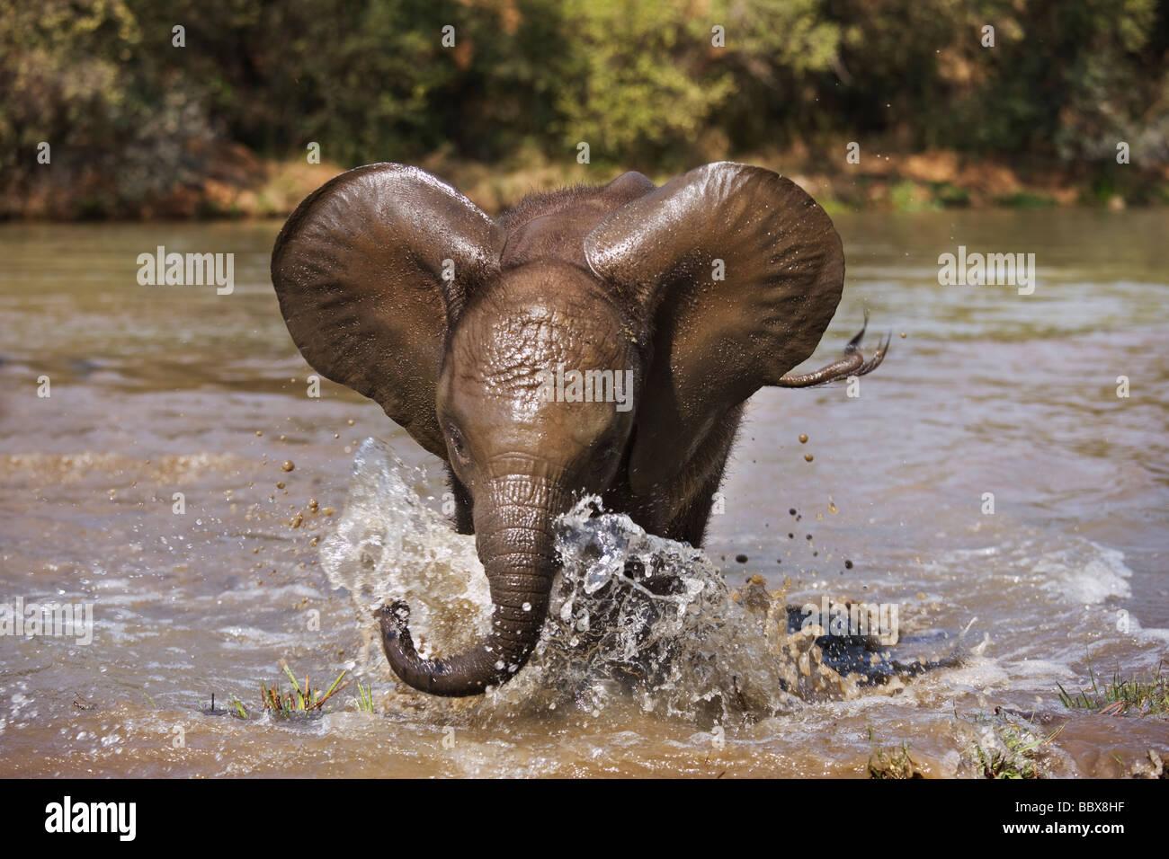 Elefante africano Loxodonta africana vitello giovane carica play Sud Africa Dist Africa Subsahariana Immagini Stock
