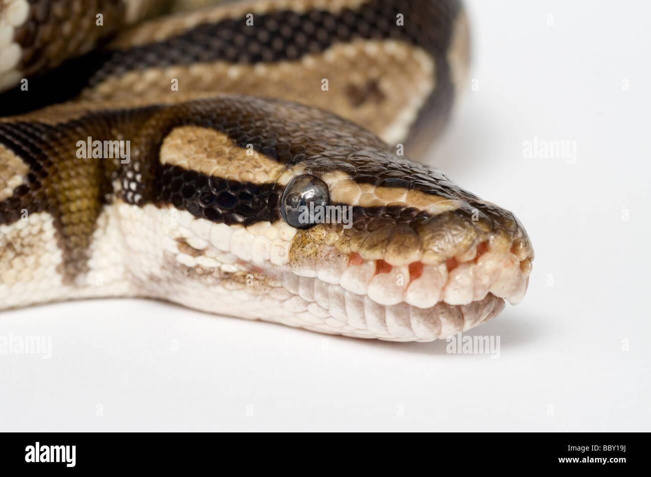 ROYAL Python Python regius Immagini Stock