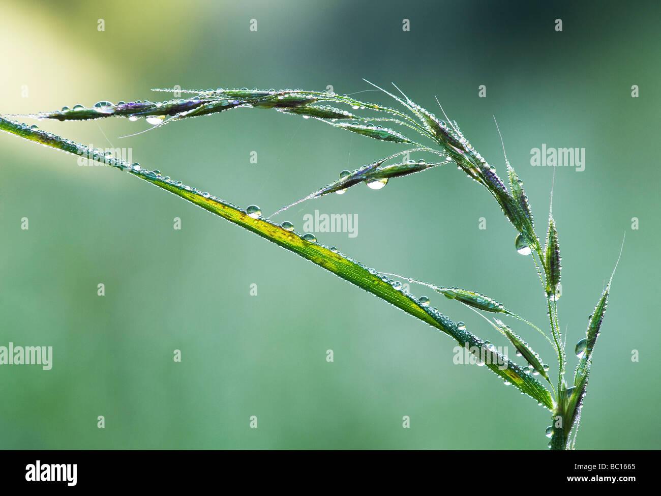 Gocce di acqua su erba che è andato al settore delle sementi Immagini Stock