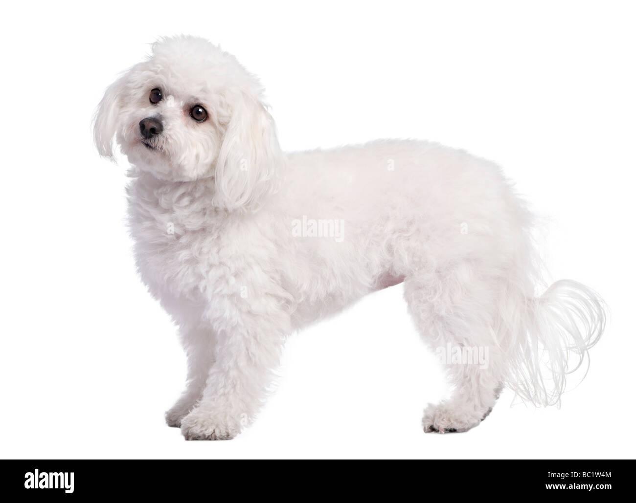 Profilo di un cane maltese di 4 anni di fronte a uno sfondo bianco Immagini Stock