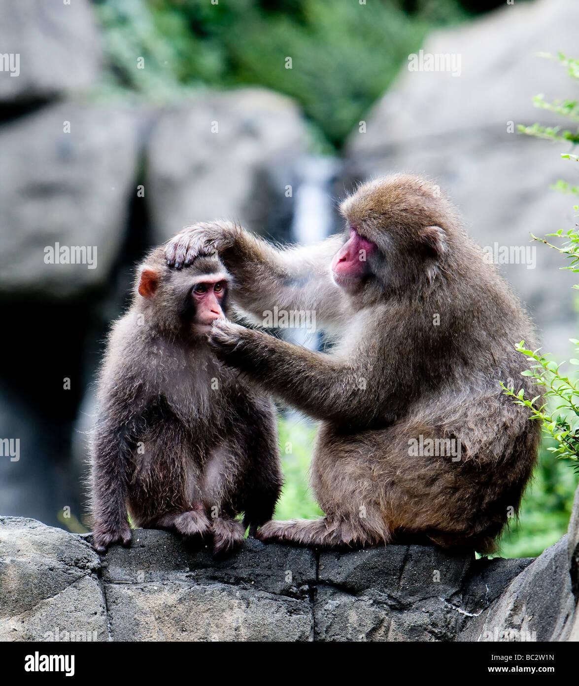 Due giapponesi scimmie neve seduti sulla formazione di roccia toelettatura mentre si tiene la testa di altri Immagini Stock