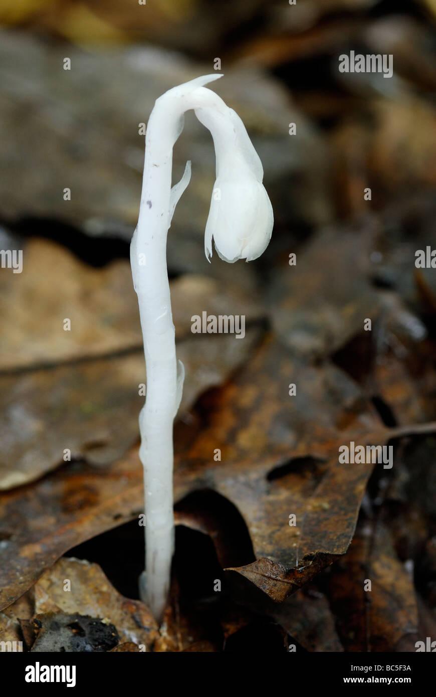 Tubo indiano, Monotropa uniflora, un insolito non-attività fotosintetica, parassiti di piante da fiore. Immagini Stock