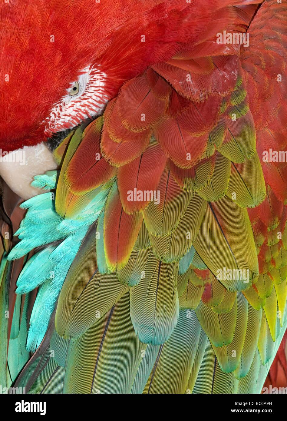 Il rosso e il verde Macaw (Ara chloroptera) dormire, dettaglio di piume Immagini Stock
