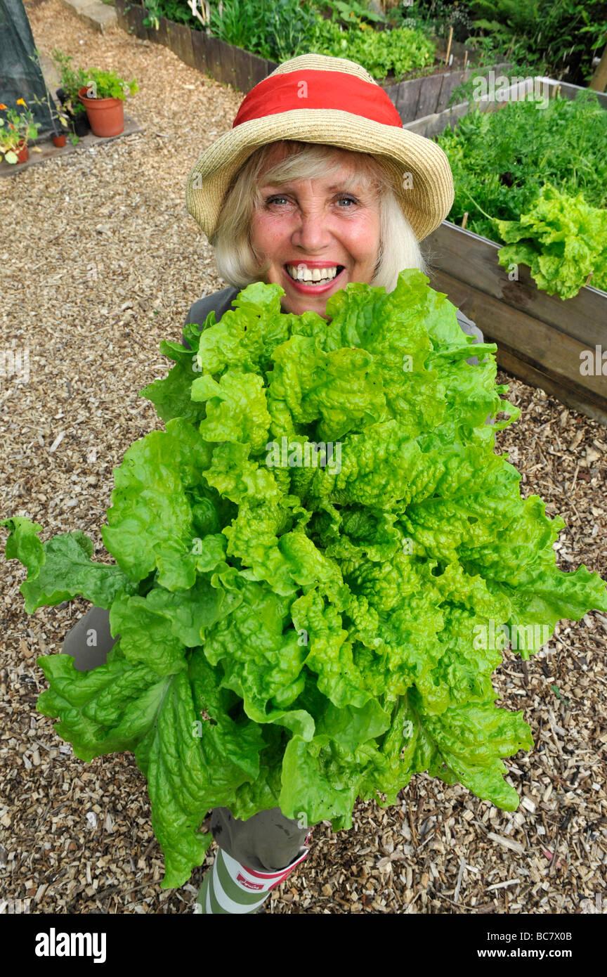 Una femmina di giardiniere britannico contiene fino un gigante le lattughe coltivate in letti sollevata, Regno Unito Immagini Stock
