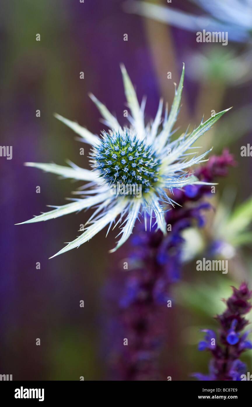"""Eryngium x zabelii """"Jos Eijking'. Mare holly fiori piantati con viola salvia piante in un giardino confine ad RHS Harlow Carr, Harrogate, Inghilterra Foto Stock"""