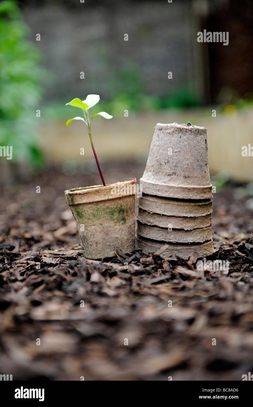 Le piantine che crescono in brown re utilizzato sementi compostabile bicchieri impilati su corteccia trucioli in Immagini Stock