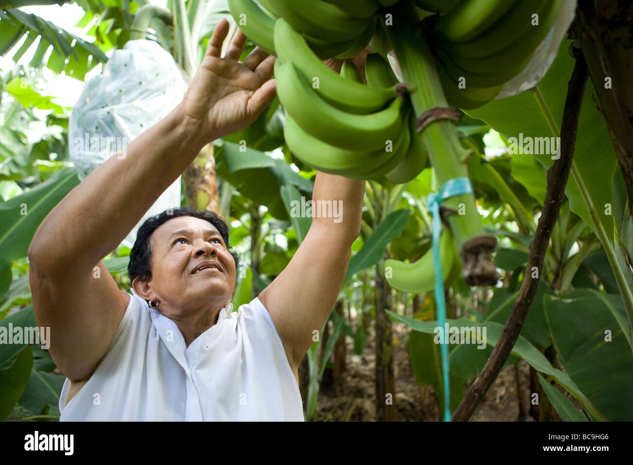 Banane Fair trade agricoltore, Repubblica Dominicana, vicino al confine con Haiti. Immagini Stock