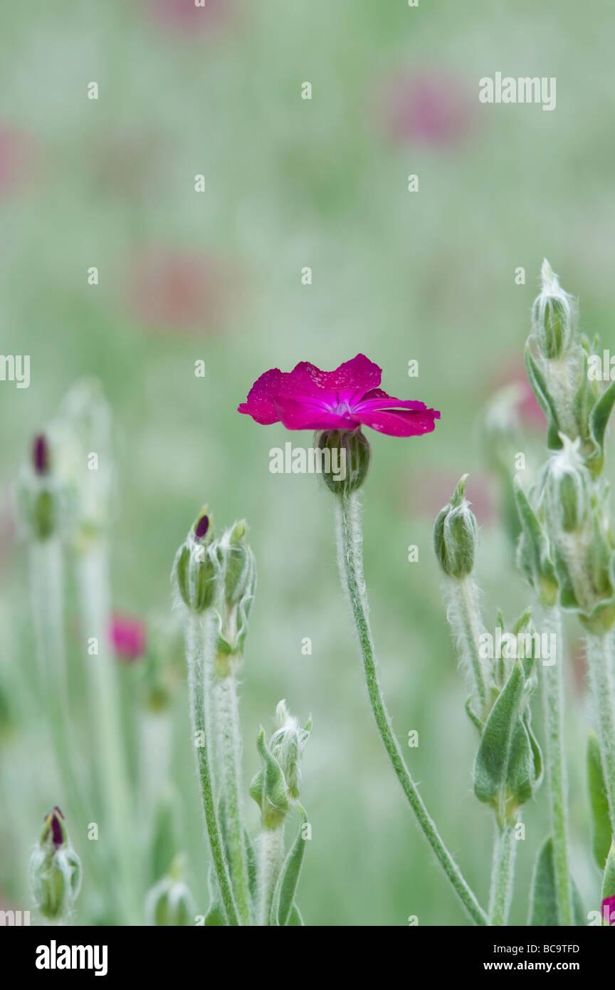Lychnis coronaria. Rose campion i fiori Immagini Stock