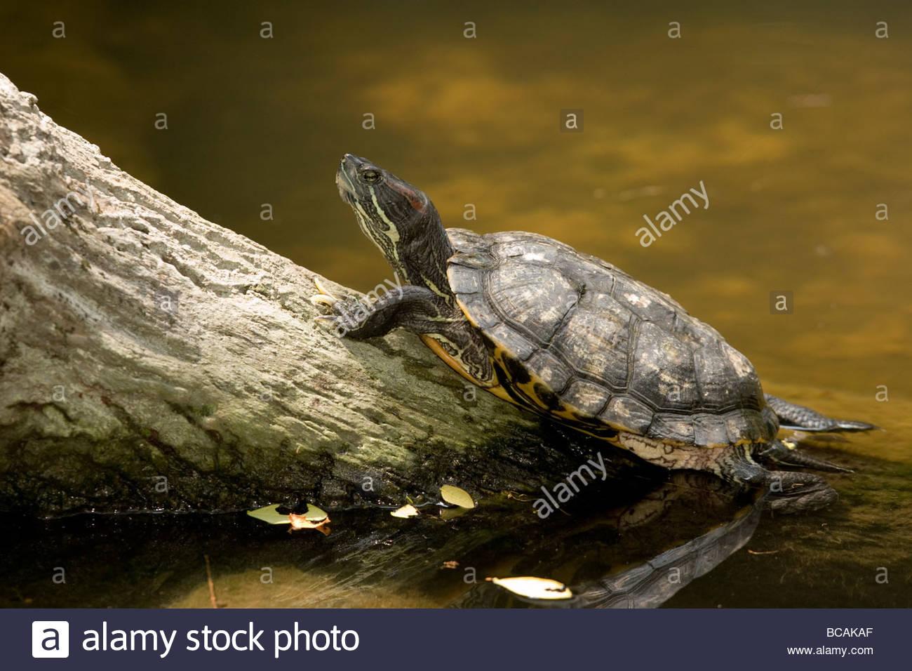 Primo piano di una tartaruga non identificato di nuoto per un log. Foto Stock