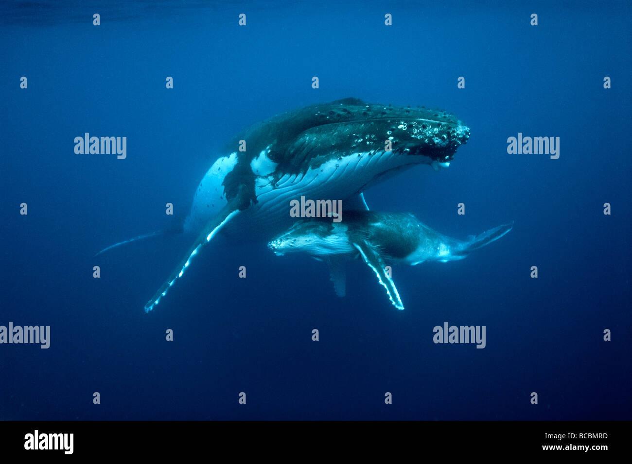 Balene megattere Immagini Stock