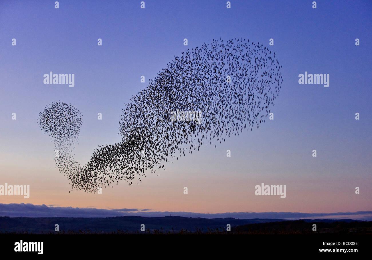Starling (Sturnus vulgaris) gregge in volo al tramonto di inverno roost. Gloucestershire Immagini Stock