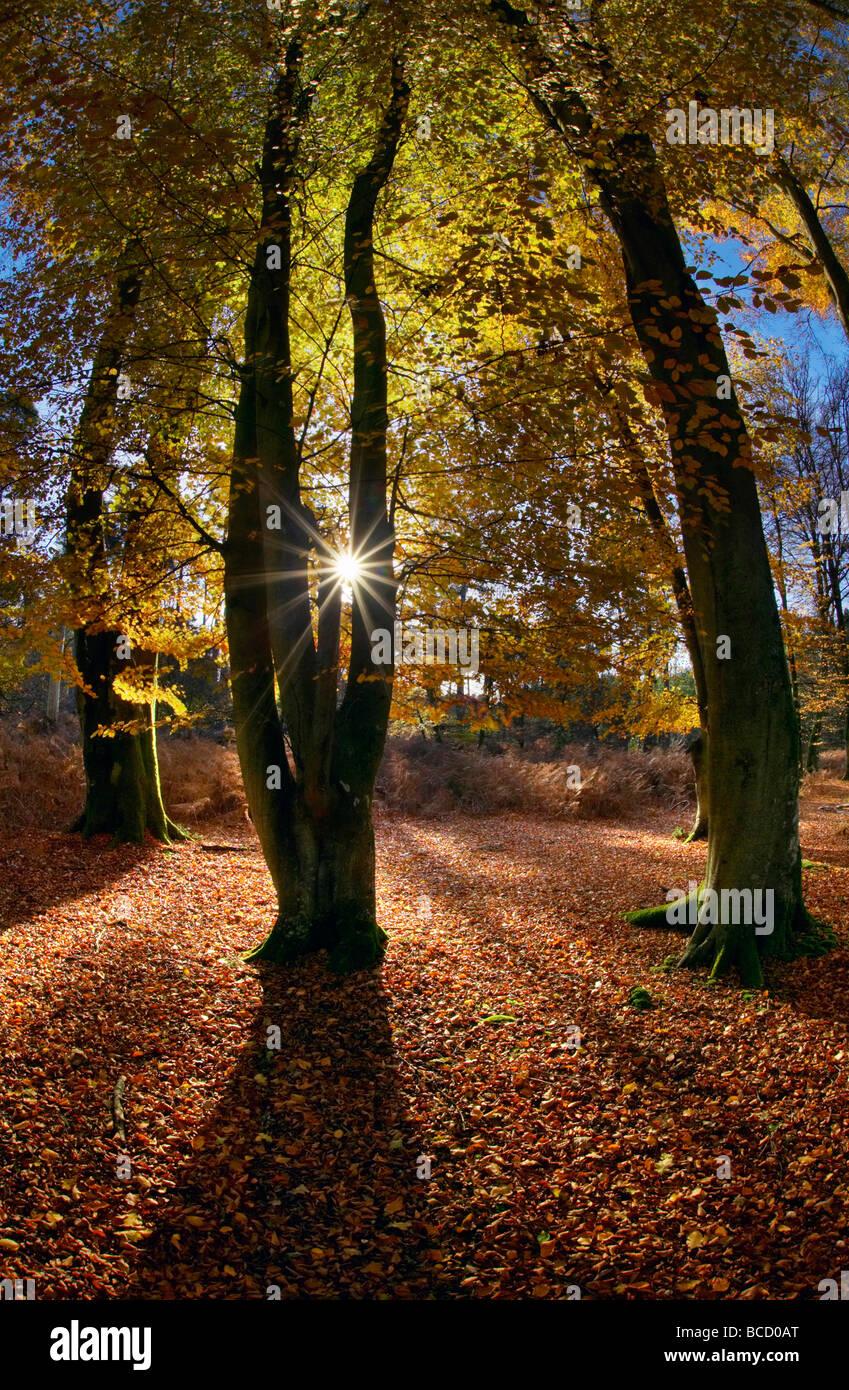 Faggi a Bolderwood. New Forest National Park. Hampshire. Inghilterra Immagini Stock
