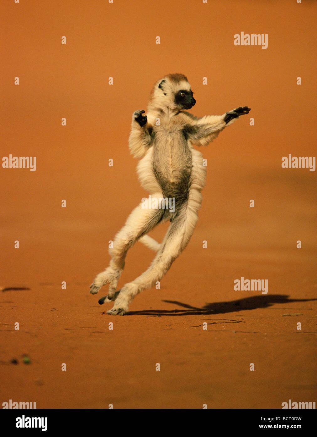 La VERREAUX SIFAKA (Propithecus verreauxi) dancing. Madagascar Immagini Stock