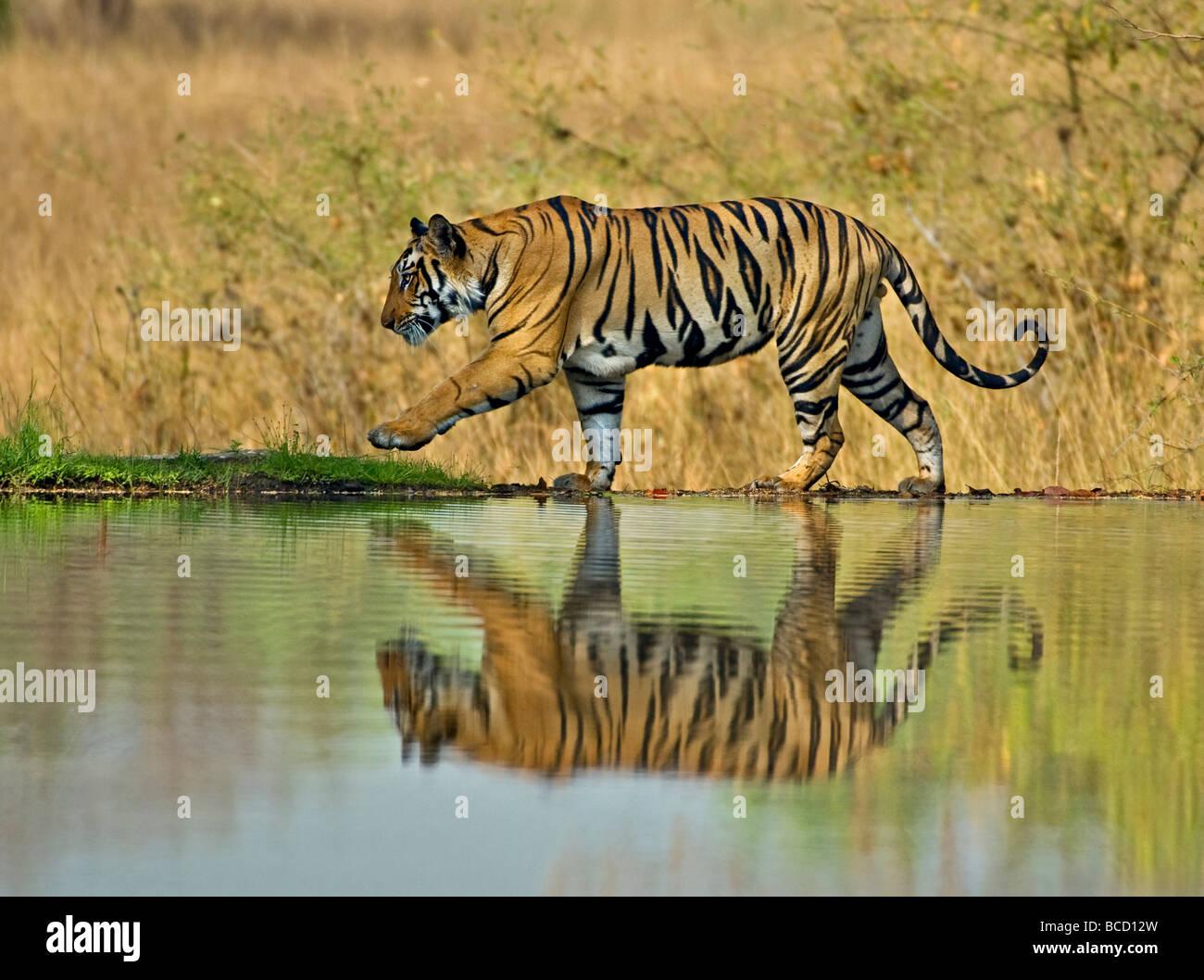 Tigre del Bengala (Panthera tigris tigris) maschio sul lago. Bandhavgarh. India Immagini Stock