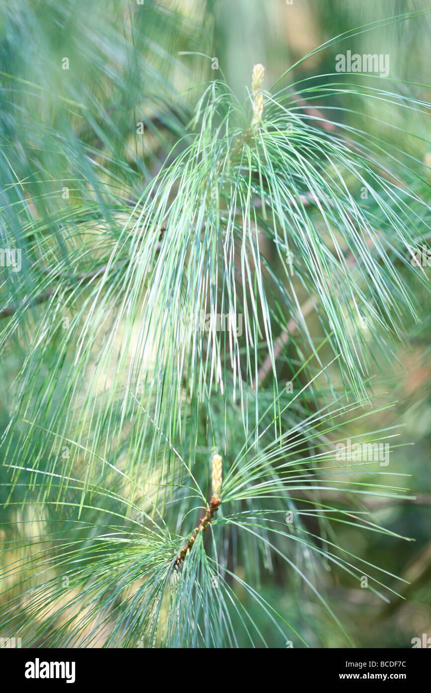 Pinus wallichiania uno splendido albero di pino a pressione atmosferica arte fotografia fotografia JABP441 Immagini Stock