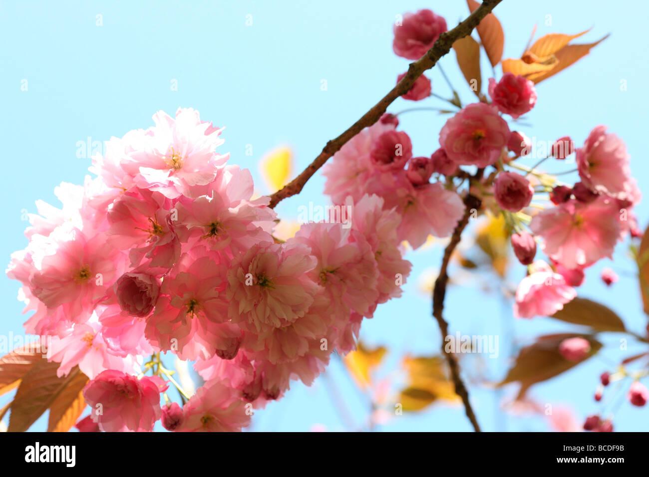 Un assaggio di primavera prunus cherry blossom arte fotografia Jane Ann Butler JABP Fotografia454 Immagini Stock