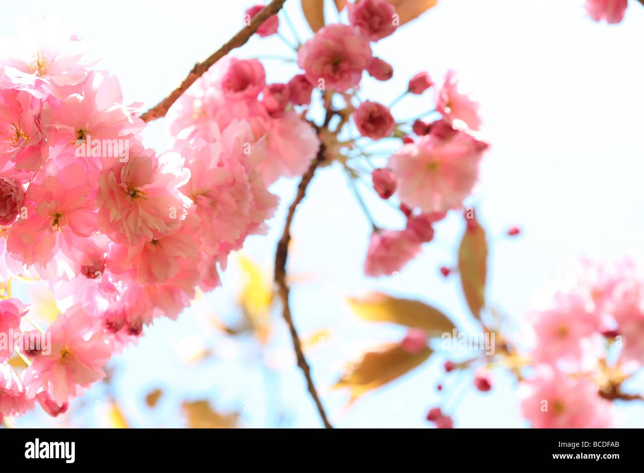 Un assaggio di primavera prunus cherry blossom arte fotografia Jane Ann Butler JABP Fotografia456 Immagini Stock
