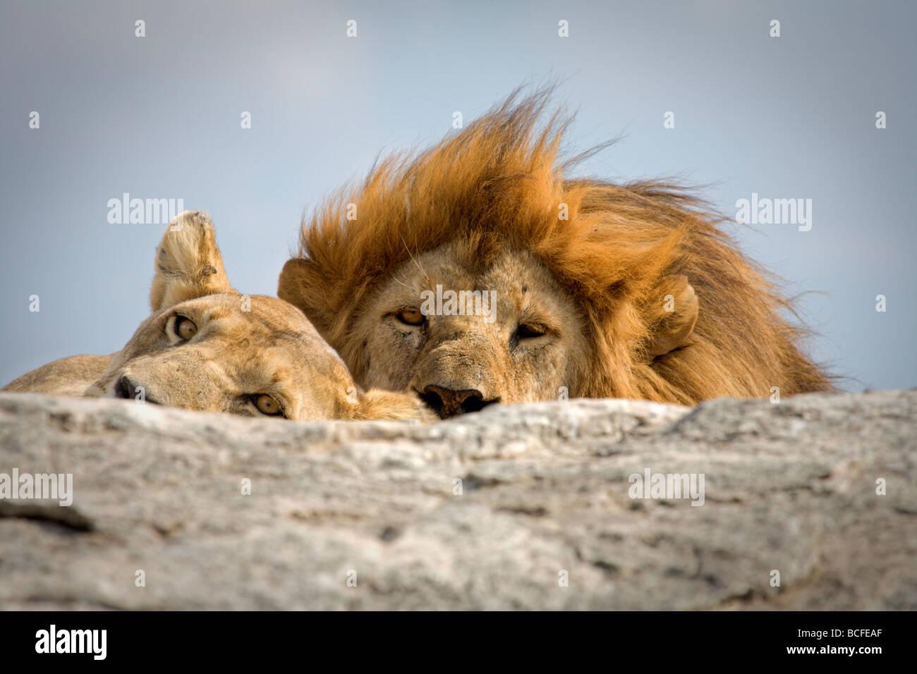 Panthera leo (Lion), il Parco Nazionale del Serengeti, Tanzania Immagini Stock