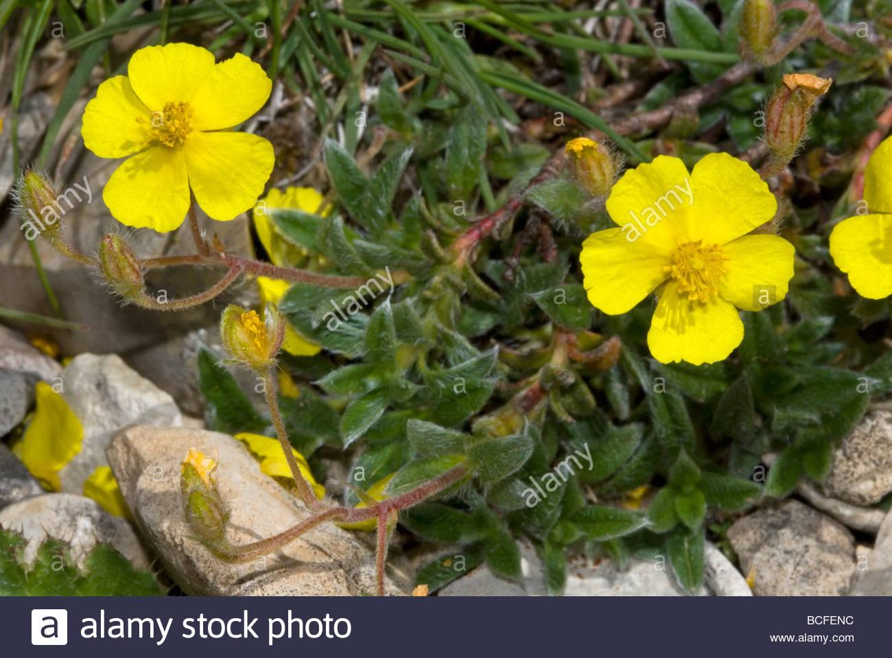 Fiori Gialli In Montagna.Fiori Gialli Di Ranunculus Montanus O Ranuncolo Di Montagna Foto