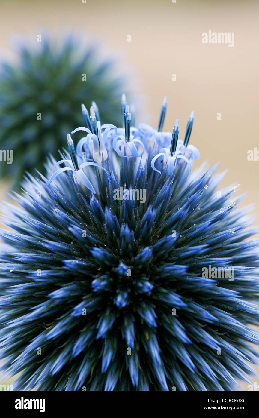 Echinops ritro veitch del blu. Globe thistle fiore in un giardino inglese Foto Stock