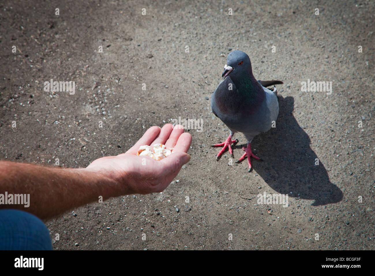 Alimentazione manuale il pane un piccione comune noto anche come una città piccione o piccioni selvatici, Glasgow, Immagini Stock