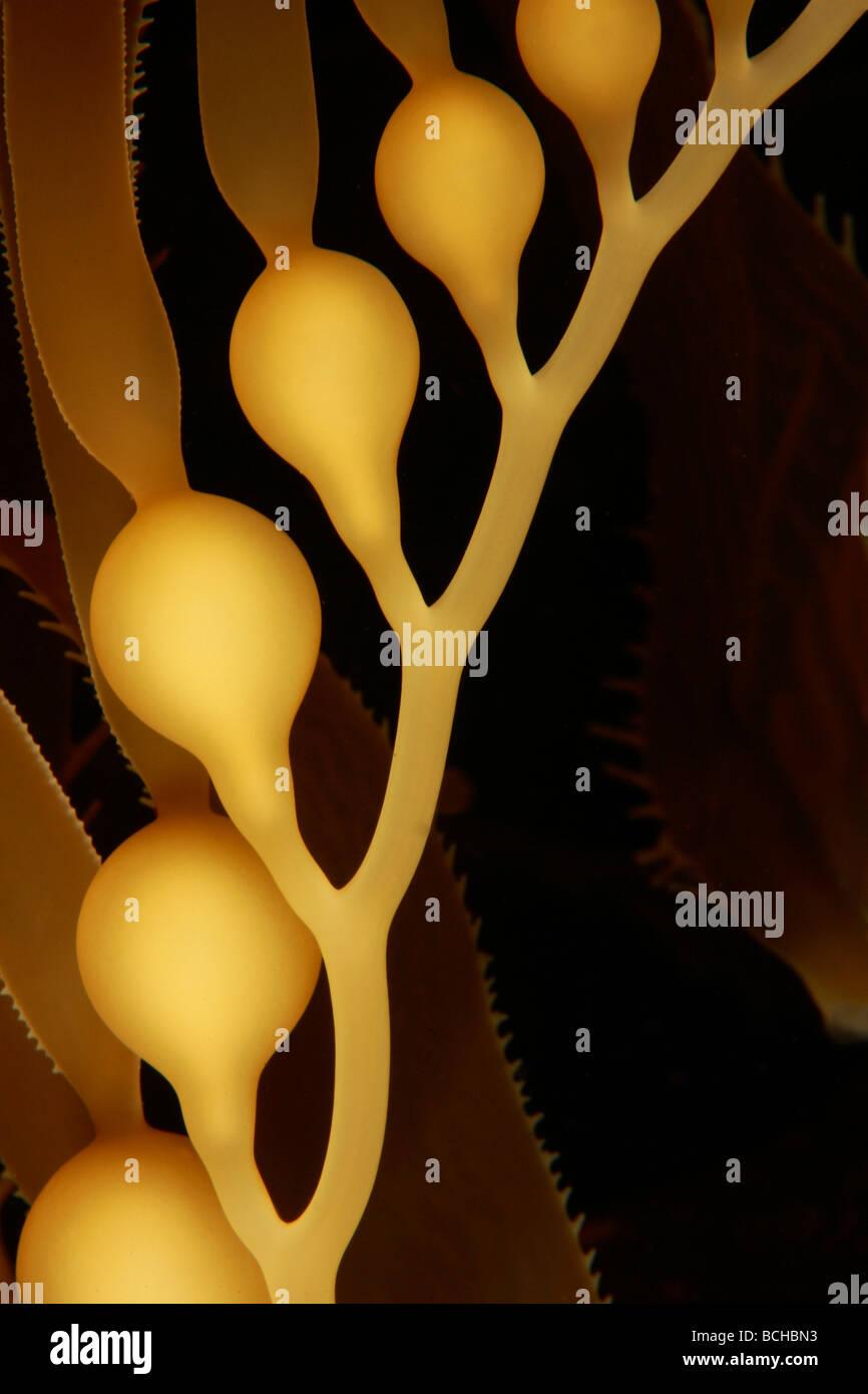 Kelp gigante dettaglio di bolle Macrocystis pyrifera Santa Catalina Island Isole del Canale Pacific California USA Foto Stock