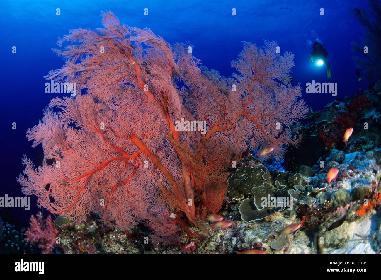 Gorgonie rosse ventola e Scuba Diver Melithaea spec Isole Similan sul Mare delle Andamane Thailandia Foto Stock