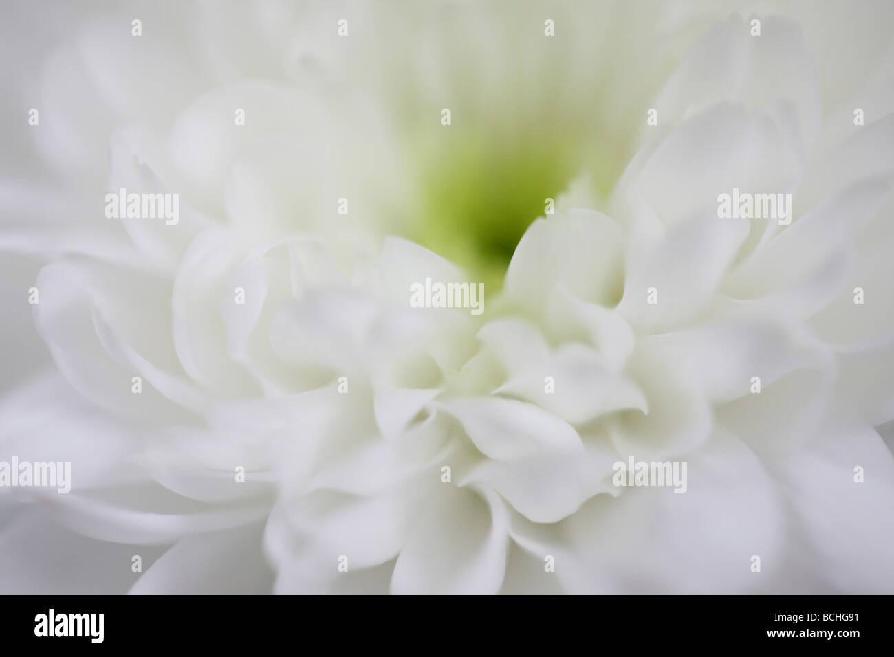 Femminile crisantemo bianco arte fotografia Jane Ann Butler JABP Fotografia414 Immagini Stock