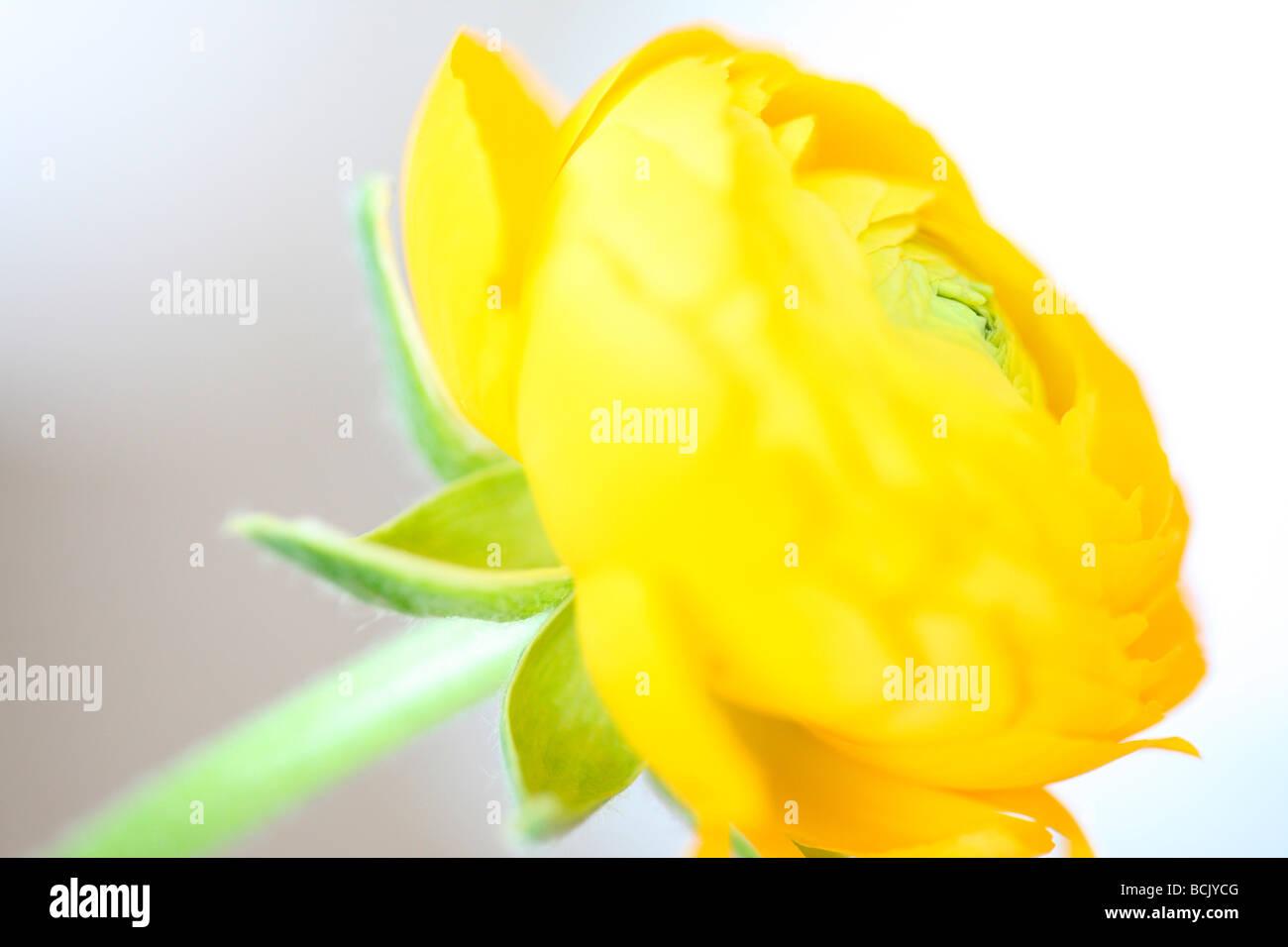 Bella ranunculus sensibile e radiante arte fotografia Jane Ann Butler JABP Fotografia388 Immagini Stock
