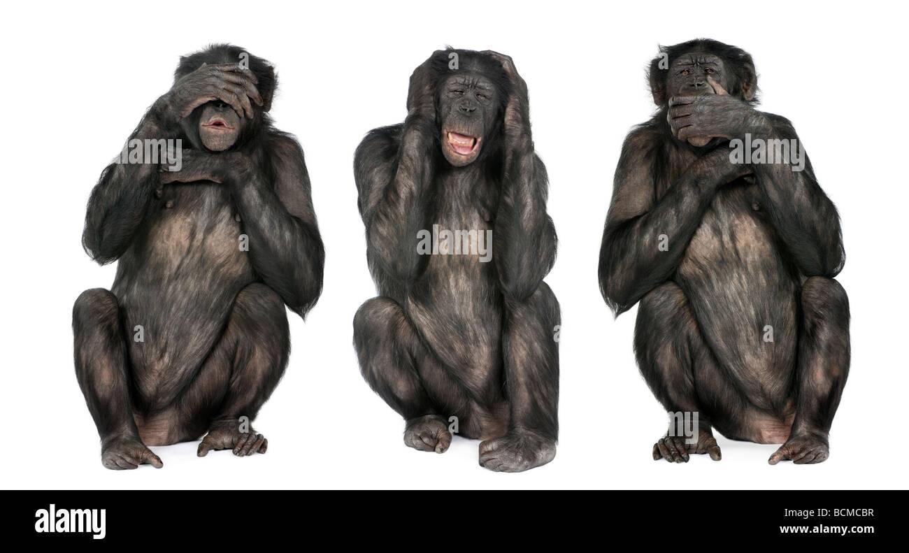 Tre Scimmie sagge, scimpanzé, Simia troglodytes, 20 anni, di fronte a uno sfondo bianco Immagini Stock